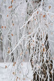 White  birch with branches in snow Stock Photography