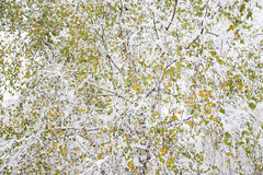 White birch color leaves Stock Image