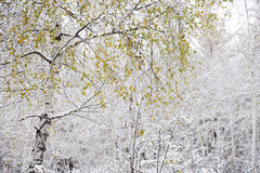 White birch color leaves Stock Photo