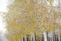 White birch color leaves Royalty Free Stock Images