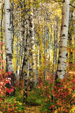 White Birch in the Fall Royalty Free Stock Image