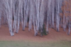 The white birch forest. The most beautiful village of China. Hemu Stock Photos