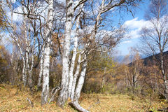 White birch forest Royalty Free Stock Images