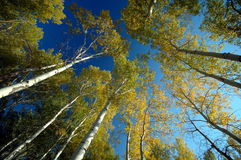 White Birch forest. Growth in north China. In the blue sky background, White Birchs are tall and beautiful. The use of ultra-wide-angle lens shooting. Visual Stock Photos
