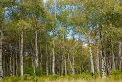 White birch forest. A bright view of a white birch forest Stock Photography