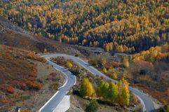 The white birch forest --HeMu. China xinjiang hemu The Most Beautiful village Royalty Free Stock Image