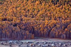 White birch forest of Hemu,Xinjiang, China Royalty Free Stock Images