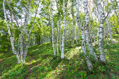 White birch forest landscape Stock Photography