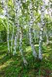White Birch Forest Landscape Stock Images