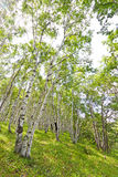White birch forest landscape Stock Photo