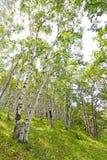 White Birch Forest Landscape Stock Photo