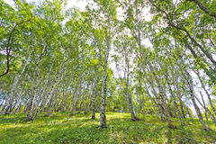 White birch forest landscape Royalty Free Stock Photography