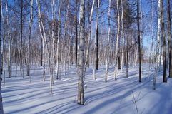 WHITE BIRCH FOREST IN THE NORTH OF CHINA stock image