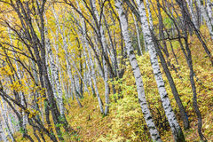 The White Birch Forest Royalty Free Stock Images