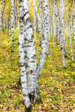 The White Birch Forest Stock Photos
