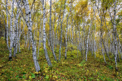 The White Birch Forest. This photo was taken in Saihaiba National Forest Park ,Bashang Grassland ,Hebei province, china Stock Photos