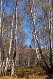 White birch forest. The scenery of autumnal white birch forest. Scientific name: Betula platyphylla stock photography