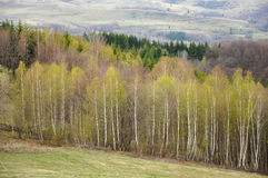 White birch forest Stock Photo