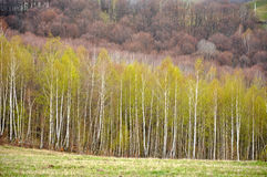 White birch forest Stock Photography