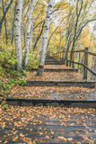 The White Birch Forest and Wood path Royalty Free Stock Photography