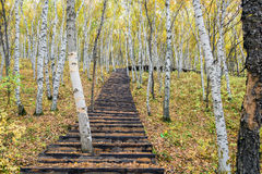 The White Birch Forest and Wood path Royalty Free Stock Photo