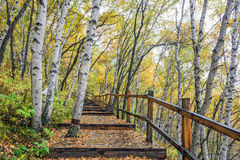 The White Birch Forest and Wood path Royalty Free Stock Photos