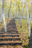 The White Birch Forest and Wood path Stock Photo