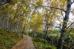 The White Birch Forest and Wood path Stock Photos