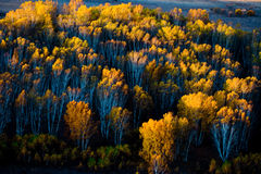 The White Birch Forests during the sunrise Stock Photos