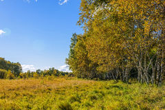 White Birch and grassland Royalty Free Stock Photos