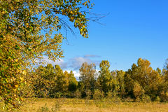 White Birch and grassland Stock Image