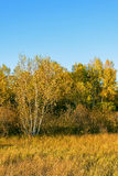 White Birch and grassland Royalty Free Stock Images
