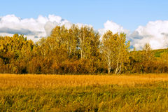 White Birch and grassland Royalty Free Stock Photography