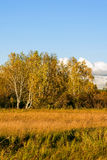 White Birch and grassland Stock Images