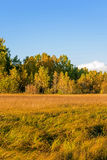 White Birch and grassland Stock Photography