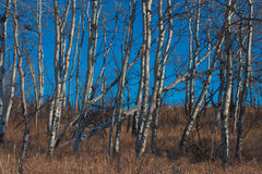White Birch Grove Stock Images