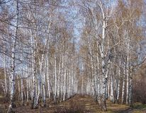White birch grove in the spring. background stock image