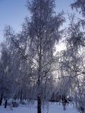 White birch Royalty Free Stock Photography