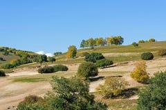 White Birch on the hillside Royalty Free Stock Image