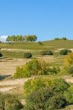 White Birch on the hillside Stock Images