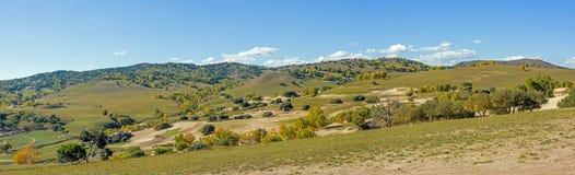 White Birch on the hillside Stock Image