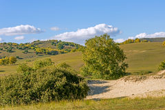 White Birch on the hillside Stock Photography