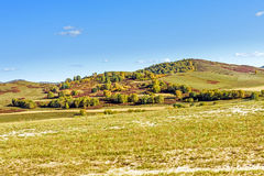 White Birch on the hillside Royalty Free Stock Image