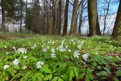 White birch Royalty Free Stock Photo