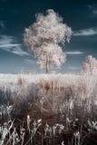 White birch Royalty Free Stock Image