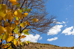 White Birch leaves and died tree in the autumn. This photo was taken in Hama (Frog) Dam scenic spot, WulanBu all grassland, Bashang Grassland, Hebei province Royalty Free Stock Photos