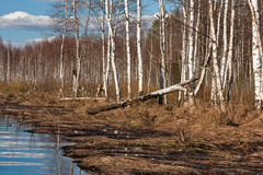 White birch in marsh. White birch at marsh in sprigtime Stock Photos
