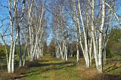 White Birch. Rows of white birch trees in Upper Freehold New Jersey Stock Image