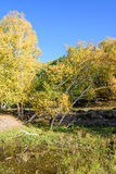 White Birch and stream in the autumn royalty free stock image
