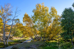 White Birch and stream in the autumn stock photography